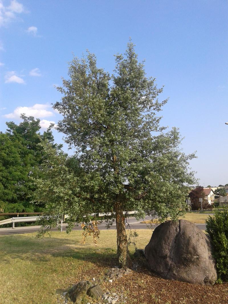 Sughera alberi a rodengo saiano - Sughero pianta da giardino ...