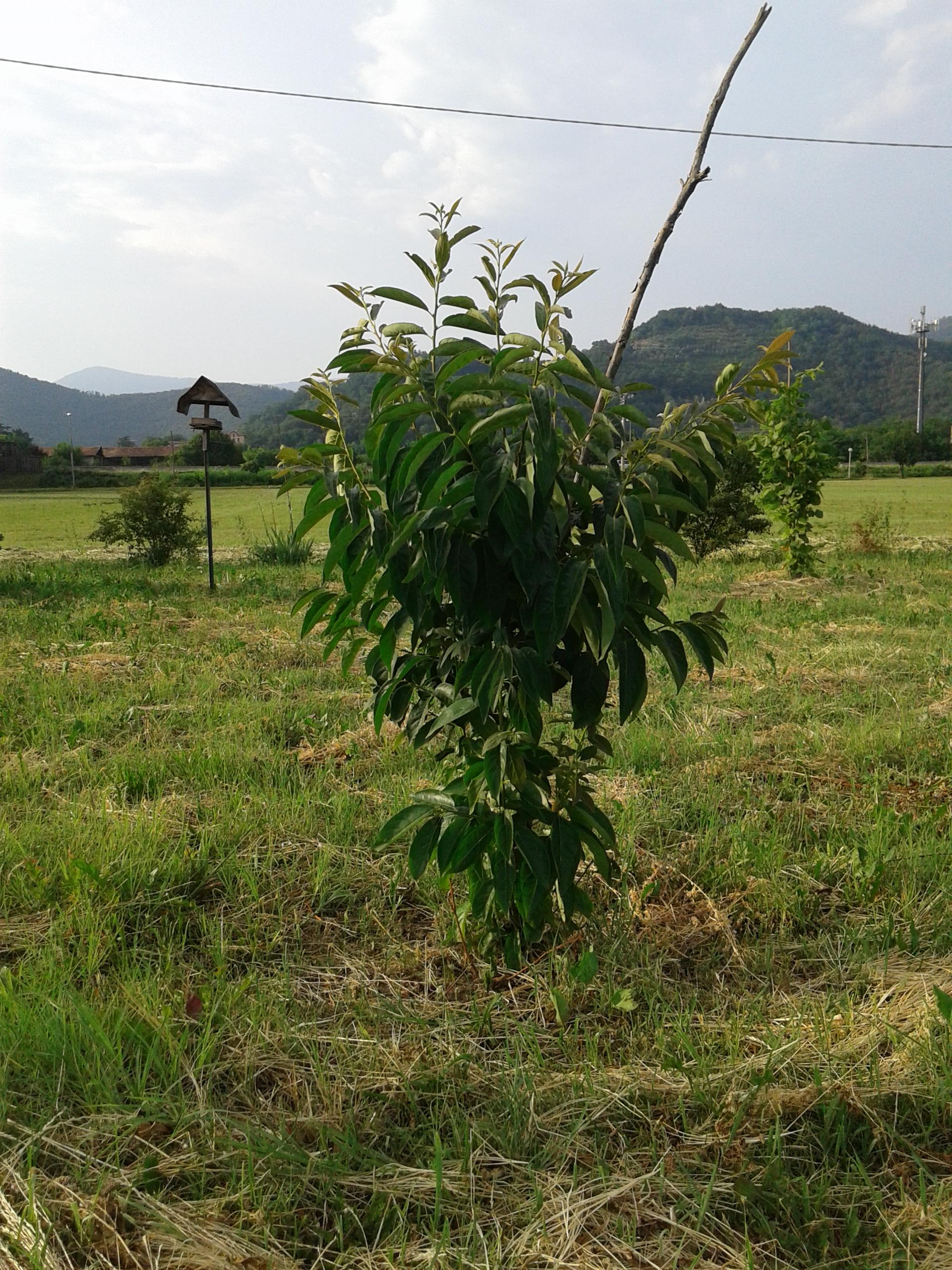 Cachi alberi a rodengo saiano - Alberi condominiali in giardini privati ...