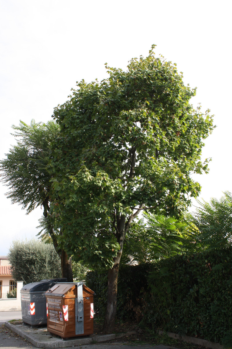 Acero riccio alberi a rodengo saiano for Acero riccio